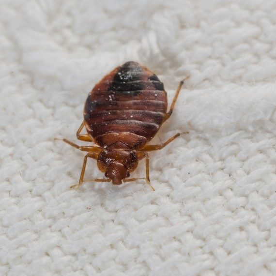 Bed Bugs, Pest Control in Erith Marshes, DA18. Call Now! 020 8166 9746