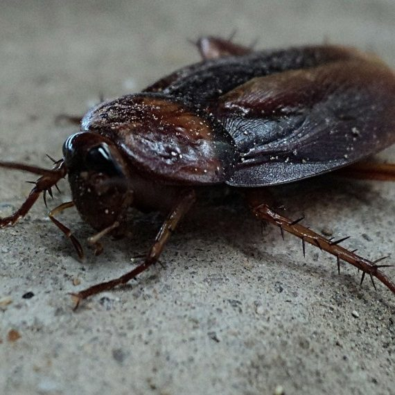 Cockroaches, Pest Control in Erith Marshes, DA18. Call Now! 020 8166 9746