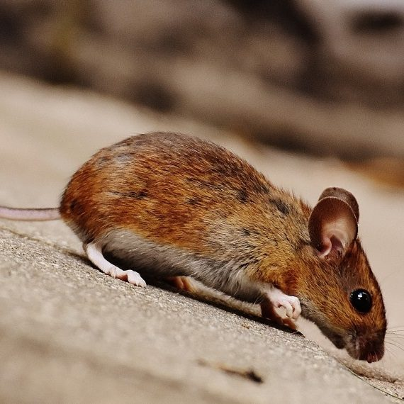 Mice, Pest Control in Erith Marshes, DA18. Call Now! 020 8166 9746