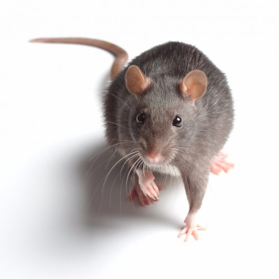 Rats, Pest Control in Erith Marshes, DA18. Call Now! 020 8166 9746