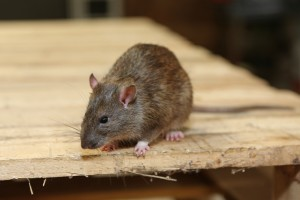 Mice Infestation, Pest Control in Erith Marshes, DA18. Call Now 020 8166 9746