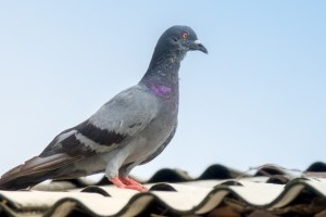 Pigeon Control, Pest Control in Erith Marshes, DA18. Call Now 020 8166 9746