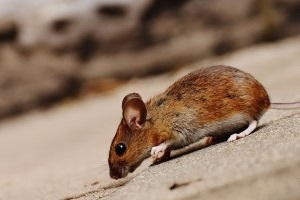 Mouse extermination, Pest Control in Erith Marshes, DA18. Call Now 020 8166 9746